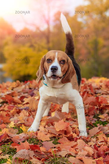 Beagle girl on a walk in the autumn park. Beautiful little dog. Home pet.
