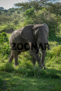 African bush elephant walks in dappled sunlight