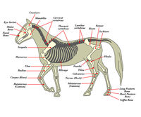 Skeleton of a horse with the different bones