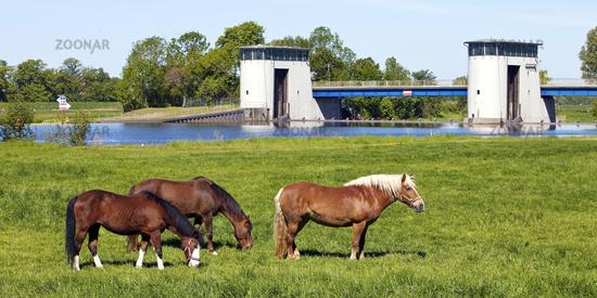 horses on the Weser floosplain, Schuesselburg, Petershagen, North Rhine-Westphalia, Germany, Europe