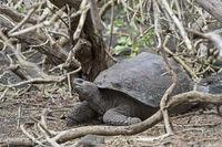 Galápagos giant tortoise (Chelonoidis nigra ssp), in situ, Isabela Island, Galapagos Islands,Ecuador