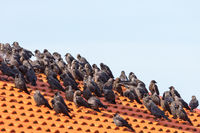 Jackdaws sitting in a flock on the ro