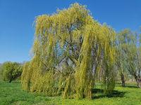 Trauerweide, Salix, babylonica