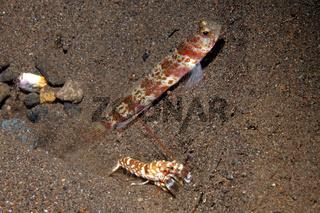 Shrimpgoby with Alpheid Shrimp
