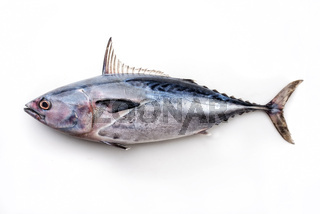 Fresh saltwater bonito as top view on white background with copy space – isolated