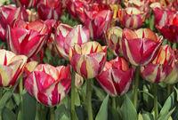 Tulpenblüten (Tulipa Spryng Break)