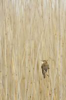 Sedge Warbler * Acrocephalus schoenobaenus * in typical surrounding
