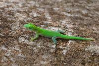 day gecko Phelsuma Madagascar wildlife