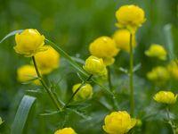 Yellow flowers of Trollius