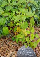 Salbei, Paeonienknospen, Salvia involucrata