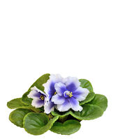 Beautiful blossoming Senpolia with blue and white petals (Humako Inches) isolated