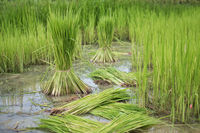 Rice seedling was withdrew for preparation to plant in Thailand