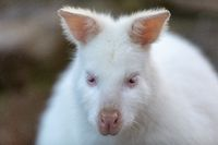 Red-necked Wallaby white albino female