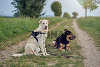 Two large dogs in harnesses resting in rural road