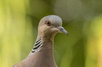 Portrait of a Turtle dove