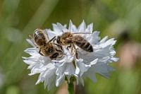 , European honey bee
