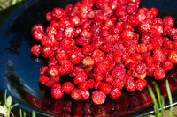 Overripe wild strawberries - sweet and fragrant berry