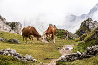 Cows in the Italian Dolomites seen on the hiking trail Col Raiser, Italy