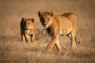 Male lion walks in grass with lioness