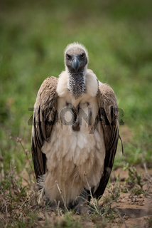 White-backed vulture standing on grassland facing camera
