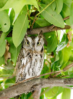 Coastal Great Horned Owl, juvenile, in the wild.