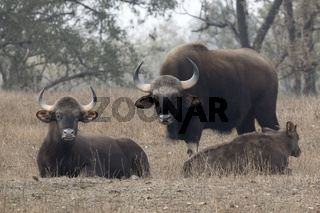 family of gaurs or Indian bison who rests on a small forest glade