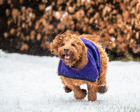 A cockapoo playing in snow