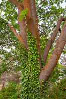 Green vines growing up a trunk of a tree