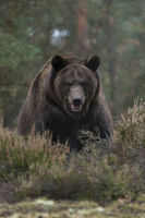 European Brown Bear * Ursus arctos *, encounter with strong and powerful adult