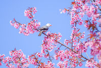Pink Cherry Blosssom with white-headed bulbul bird