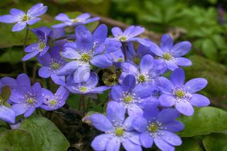 Spring flowers Europe. Noble mayflower