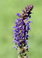 Salvia, nemorosa, Blauhuegel, Steppensalbei