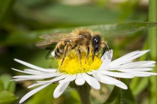 Sandbiene, Andrena, mining bee