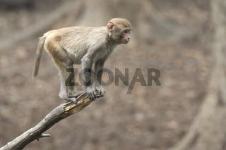 young rhesus macaque that stands on the end of a dry branch over a small pond