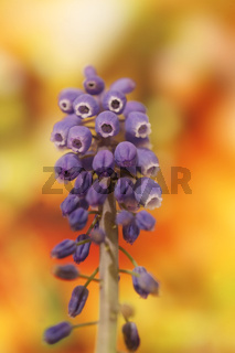 Wild flower grape hyacinth macro background fine art in high quality prints products fifty megapixels muscari neglectum family asparagaceae