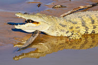 nile crocodile at South Luangwa National Park, Zambia, (Crocodylus niloticus)
