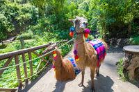 llamas Otavalo Ecuador