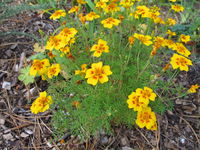 Signet marigold, Tagetes tenuifolia, with flower heads in yellow and orange colours