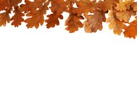 Autumn oak leaves isolated on white