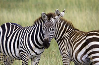 Whom is the Head ?  - Zebras