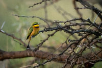 Little bee-eater perched on branch in profile