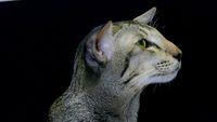 Close Up portraite: Cute siamese Cat