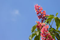 Horse chestnut tree Aesculus carnea with pink blossom flowers