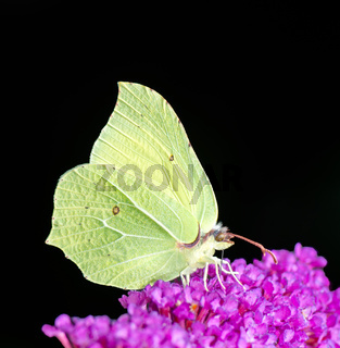 Yellow Brimstone Butterfly
