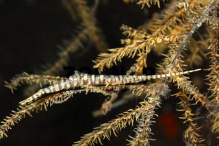 Banded Sawblade Shrimp, Tozeuma armatum