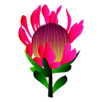 Vector illustration of bright pink protea flower with green leafs on white background.