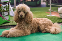 brown poodle is waiting leashed on master and looks into camera