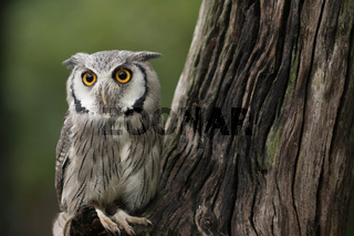 small white-faced scops owl resting on a branch