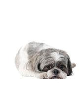Small Havanese dog laying on White Backdrop looking sad