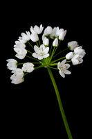 Neapel-Lauch (Allium cowanii) auf schwarzem Hintergrund